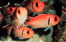 Blackbar soldierfish huddle within a coral reef nook.Myripristus jacobus.
