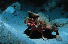 Bat-fish, wearing too much make-up, poses to intimidate.Ogcocephalus parvus.