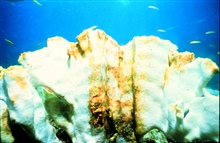 Corals throughout the Caribbean are bleaching (casting out their algae).