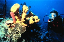 Sponges, corals and many other attached species compete for space on the reef.