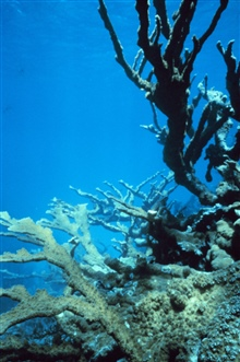 Elkhorn, Acropora palmata, coral towers above reef creating habitat and beachprotection.