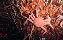 Mussels, worms and a spider crab at a hydrocarbon seep community.