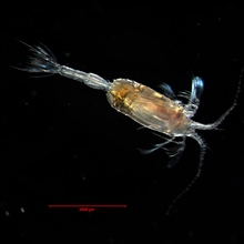 In many species of copepods, males are rare and short-lived. This maleof Scaphocalanus acrocephalus is readily distinguished from the female by hisantennae and tail.