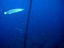 Barracuda cruising near rigging of sunken vessel.