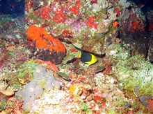 A rock beauty (Holocanthus tricolor) is the yellow and black fish in the centerof the image.