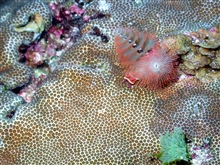 Red Christmas tree worms (Spirobranchus giganteus)