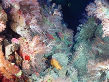 Pacific Ring of Fire Expedition. Stunning image of Aquarium site.A picturesque gully with abundant life including algae (red and green), soft corals (pink with white stalks) and tropical fish abound.