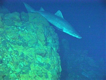 Pacific Ring of Fire Expedition. A rare sight at hydrothermal systems,this shark (~ 1.5  meters long, 5 ft), surprised us at Kasuga-2.
