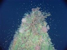 Pacific Ring of Fire Expedition. This pinnacle rises to 167 meters below thesurface.  The coiled up pink masses are basket sea stars (about 50 cm across).A myriad of small fish, probably wrasses, swarm around the top of Pinnacle Cone.  Turbulence aro