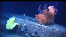 Mountains in the Sea Expedition.Basalt ridge with crinoids, corals, and sponges.