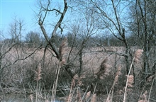 A view of Army Creek, in the foreground, and its marsh. Phragmites australis isseen in the front of the image.