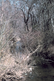 A close-up view of the scrub under-brush common along Army Creek.