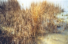 Dixon Bay, oiled Spartina alterniflora in the wrack line of the marsh.