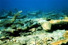 The reef surrounding Mona Island contains old growth stands of Elkhorn coral,Acropora palmatta. This photograph shows an Elkhorn coral damaged by the shipgrounding and, later, by the removal of the ship from the reef.