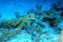 A severed branch of Elkhorn coral at the grounding site.
