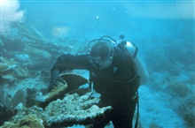A diver moves a loose fragment of Elkhorn coral, Acropora palmatta, inpreparation to reattach the fragment.
