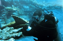 A diver prepares to reattach an Elkhorn coral fragment.