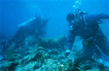 Two divers work to reattach a large fragment of Elkhorn coral,Acropora palmatta. The coral in the background has been attached to the reefframework using stainless steel wires. The wire binds the coral fragment tothe living coral where it is expected