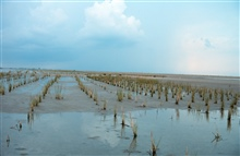 Newly planted smooth cordgrass, Spartina alterniflora, is inundated bythe incoming tide.