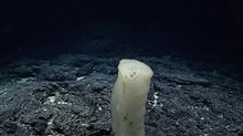 Deepsea glass sponges take many diverse forms.