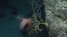 An orange deepsea anemone.
