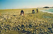 Dead surf clams washed up on South County beaches after the oil spill. Anestimated biomass of 400,000 Kg. of surf clams died in the spill.