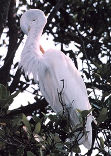 A Great Egret, Casmerodius albus, preens in a tree on an island in Tampa Bay.Great Egrets are another species of bird that become entangled in discardedfishing line in their roosting habitat.