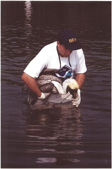 Scott Gudes of NOAA cradles a pelican that was injured when it became entangledin monofilament in its roosting area.