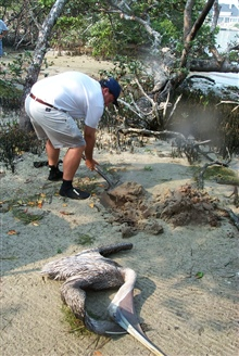 Scott Gudes buries a dead pelican that was removed from the mangroves where itwas entangled in discarded monofilament.