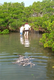 Volunteers hunt for discarded monofilament in the roots and branches ofmangroves. A dead victim, a brown pelican floats in the water nearby.