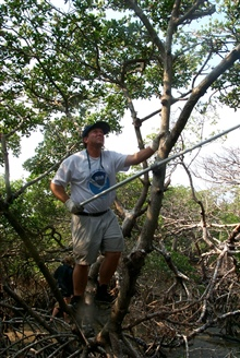 Scott Gudes uses a long handled boat hook to remove monofilament from theupper branches of mangroves where birds roost and may become entangled.
