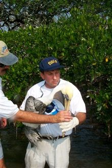 Scott Gudes cradles an injured pelican that was attached to mangroves bymonofilament. The bird will be rushed to volunteer land-based rehabilitators.
