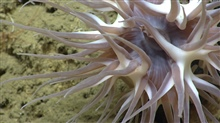 Large brownish white deep sea anemone.