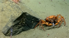 Deep sea red crab Chaceon quinquedens eating a squid.