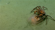 Deep sea red crab Chaceon quinquedens eating a jellyfish.