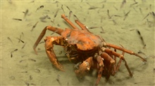Deep sea red crab Chaceon quinquedens.