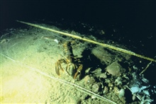 An American lobster, Homarus americanus at the site where cobble reefswere placed to provide habitat in Dutch Harbor.