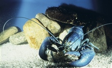 An all blue specimen of Homarus americanus. Some scientists attributevariations in shell colors to diet.
