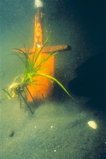 A plug of eelgrass, Zostera marina, shown just before it is transplanted. Notethe u shaped staple that is used to secure it to the bottom.