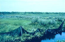Fish sampling at Sachuest Marsh. Fyke nets were used to sample residentpopulations of fish before and after the restoration.