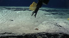 Deep Discoverer manipulator arm sampling a yellow antipatharian coral  -Stauropathes sp.