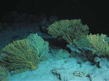 Large gold coral bushes.