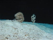 A sea lily with arms collapsed because of slack current and coral branch withpolyps extended.