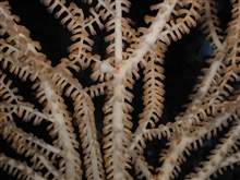 Operation Deep Slope 2007. Bamboo octocoral.