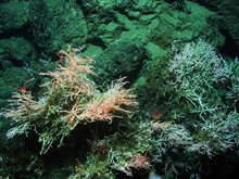 Operation Deep Slope 2007. Madrepora oculata coral with squat lobsters.