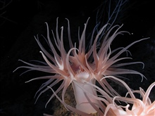Operation Deep Slope 2007.  Large brownish pink stalked anemone.