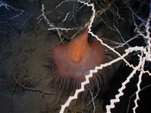 Operation Deep Slope 2007.  An odd appearing orange with white spotssea anemone which is hanging vertically.