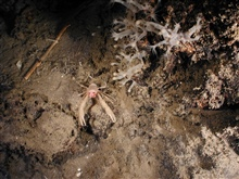 Operation Deep Slope 2007. Squat lobster on a rock outcrop.