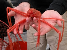 Gulf of Alaska 2004 Expedition.  Deep-sea spider crabs, likethis one, have long, spider-like legs and are a brilliant red. The crabswe collected had an average carapace length of about 62 mm and anaverage width of about 53 mm. We only caught three cr