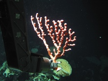 Collecting a small Paragorgia coral on Dickins Seamount.